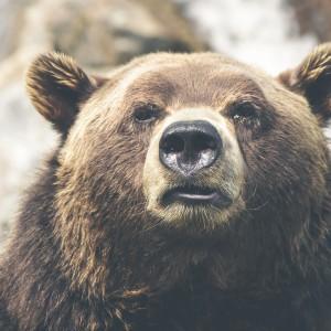 Bär, Kanada, Tier, Natur