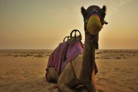 golfstaaten-dubai-kamel