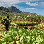 arbeiter-auf-tabakplantage-vinales-kuba