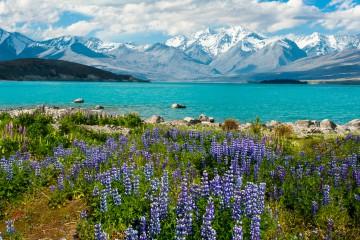 lupinien-am-mt-john-lake-tekapo-neuseeland