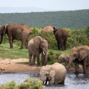 Elefanten, Afrika, Südafrika, Addo Elephant Park