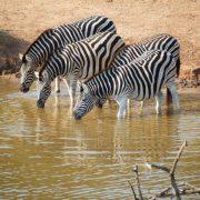 Zebra, Südafrika, Afrika, Tiere