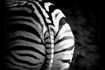 Zebra, Afrika, Safari, Nationalpark, Tier