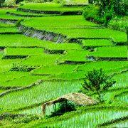 Reisterasse, Indonesien, Asien, Flores, grün, Natur