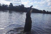 Australien, Darwin, Litchfield National Park, Krokodil, jumping crocodile, springendes Krokodil, Fluss, Wasser