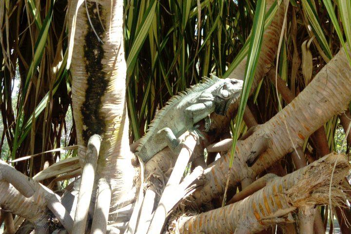 Leguan Guadeloupe