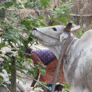 Nepal, Asien, Rundreise, Individualreise, Ochsenkarren, Land und Leute, alternatives Reisen, Chitwan Nationalpark, Reisterassen, Reisfelder